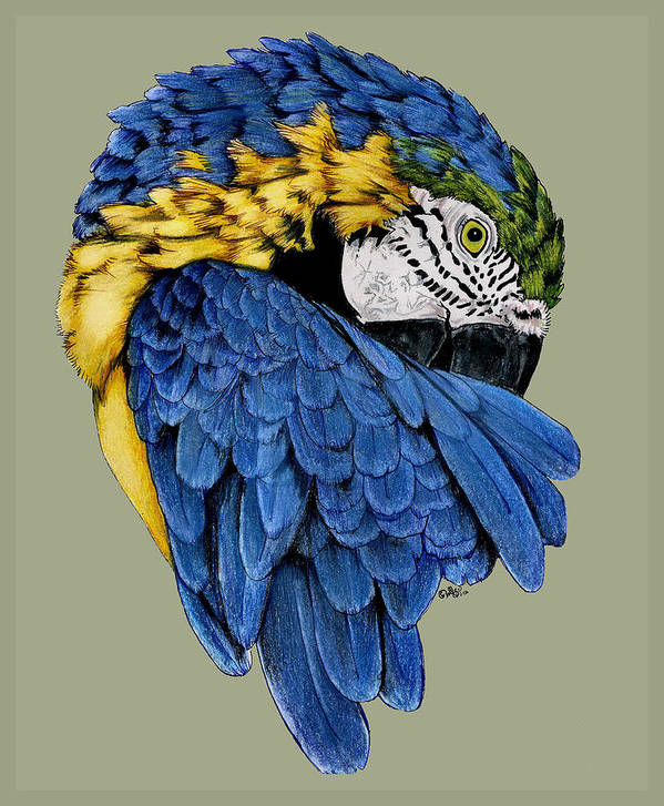Parrot Poster featuring the drawing Macaw by Crystal Rolfe