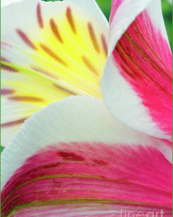 Flowers Poster featuring the photograph Macro Lily by Stephanie Hayes
