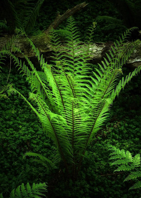Black Poster featuring the photograph Magic Fern by Svetlana Sewell