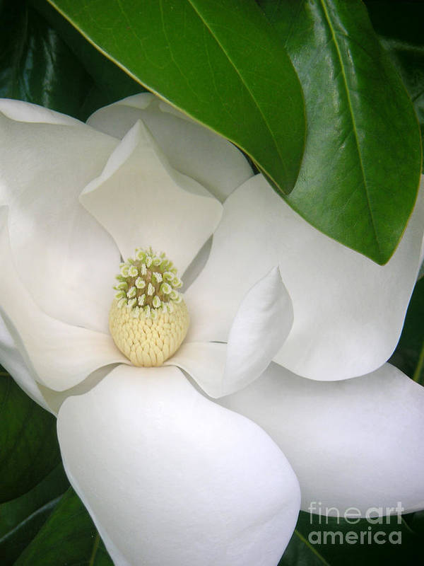 Nature Poster featuring the photograph Magnolia Protected by Lucyna A M Green