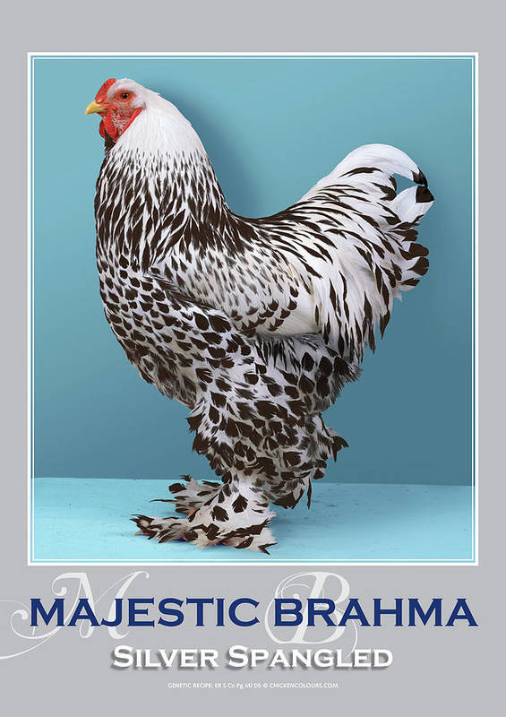 Poultry Poster featuring the digital art Majestic Brahma Silver Spangled by Sigrid Van Dort