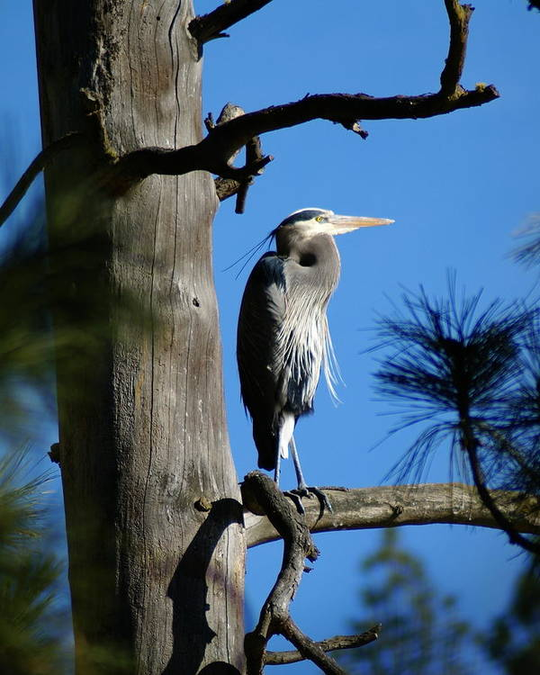 Birds Poster featuring the photograph Majestic Great Blue Heron 2 by Ben Upham III