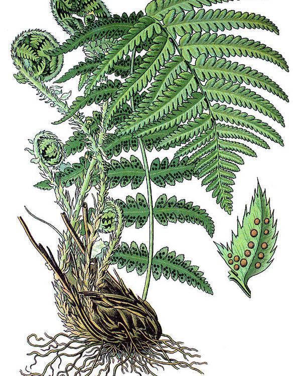 Male Fern Poster featuring the drawing male fern, Dryopteris filix-mas by Bildagentur-online