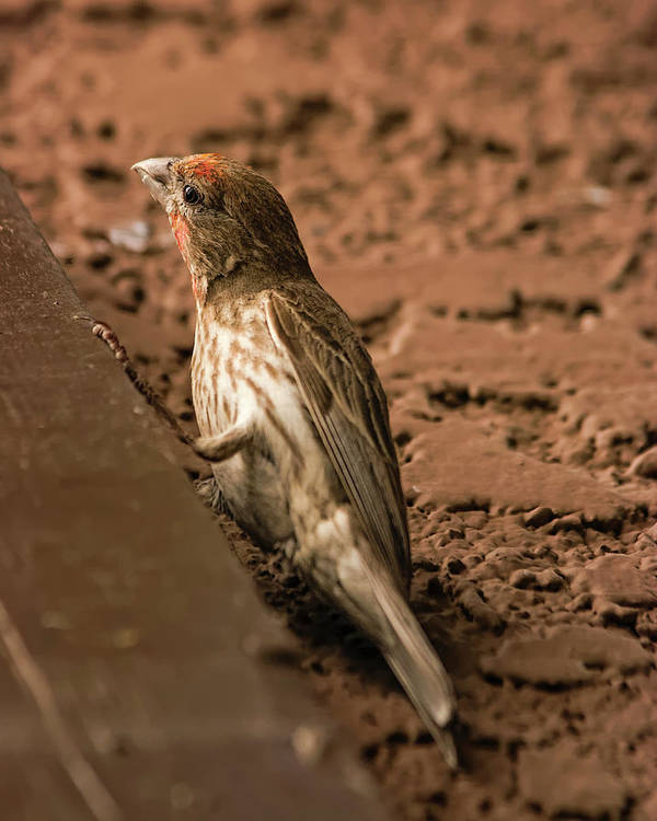 Myhaver Photography Poster featuring the photograph Male House Finch V10 by Mark Myhaver