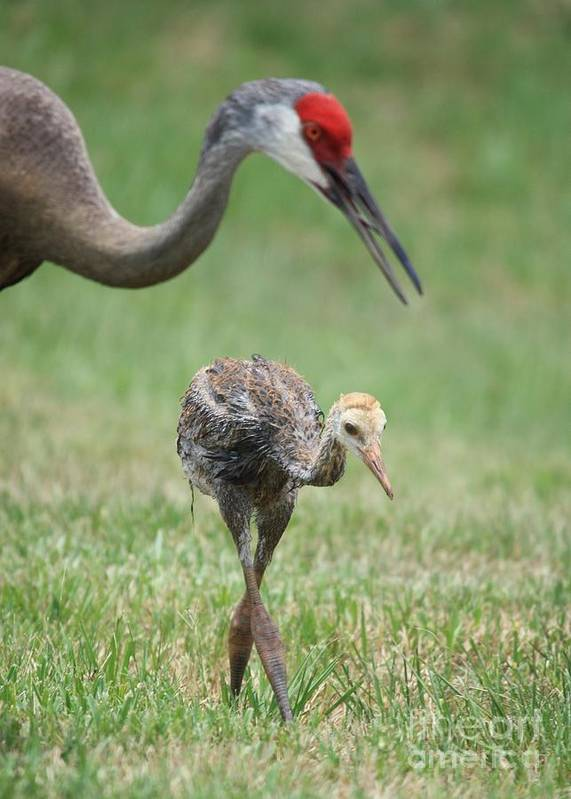 Sandhill Crane Poster featuring the photograph Mama And Juvenile Sandhill Crane by Carol Groenen