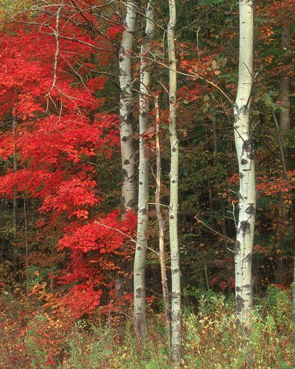 Fall Poster featuring the photograph Maple And The Birch by Raju Alagawadi