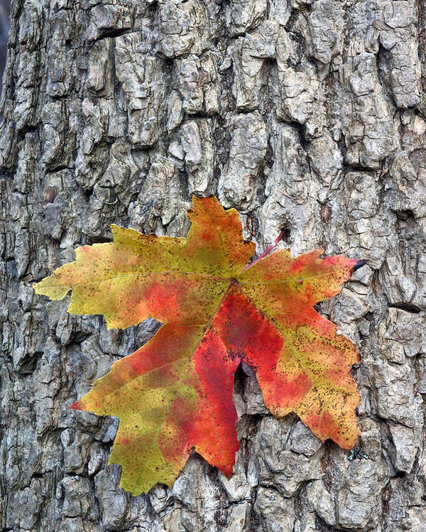 Fall Poster featuring the photograph Maple Leaf On A Maple Tree by Andreas Freund