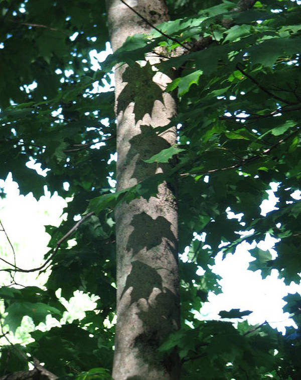 Tree Poster featuring the photograph Maple Leaf Shadows by Libby Cagle
