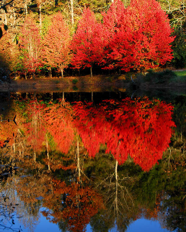 Maple Leaf Color Poster featuring the photograph Maple Tree Mirror by Alan Lenk