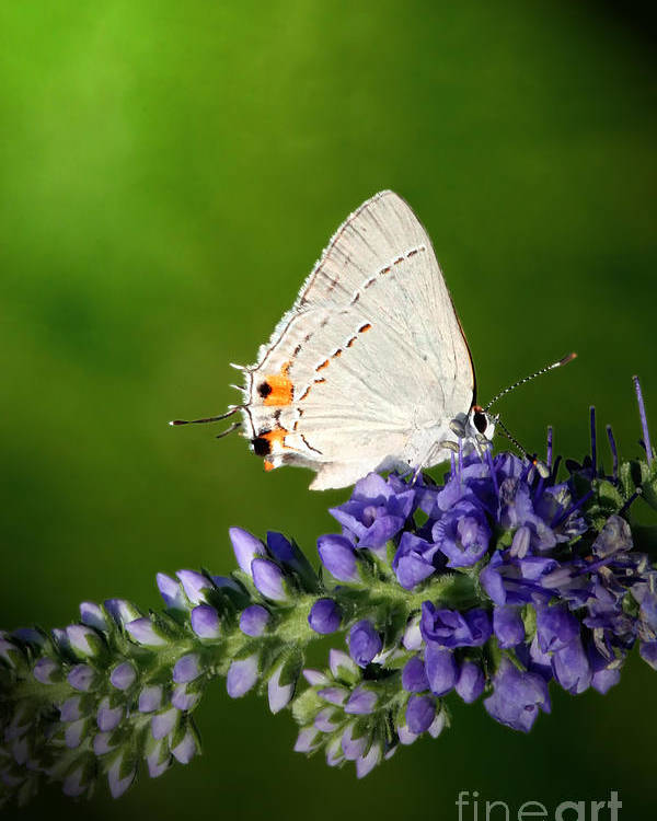 Marius Poster featuring the photograph Marius Hairstreak Butterfly by Jeannie Burleson