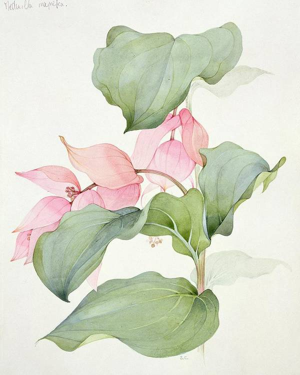 Medinilla Magnifica Poster featuring the painting Medinilla Magnifica by Sarah Creswell