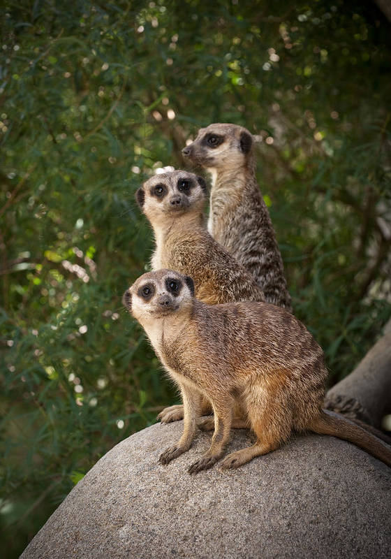 Meerkat Poster featuring the photograph Meerkat Hill by Chad Davis