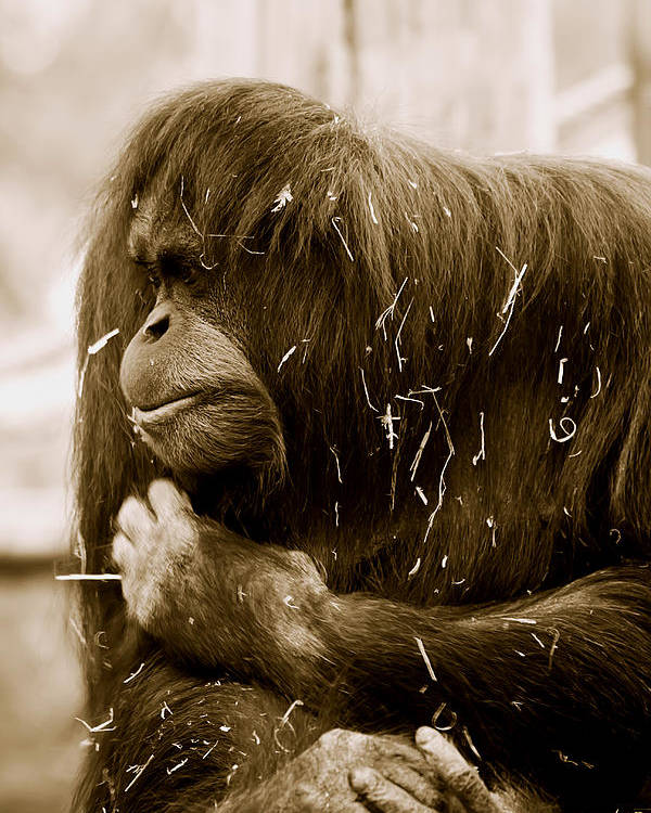 Orangutan Poster featuring the photograph Melancholy by Lesley Smitheringale