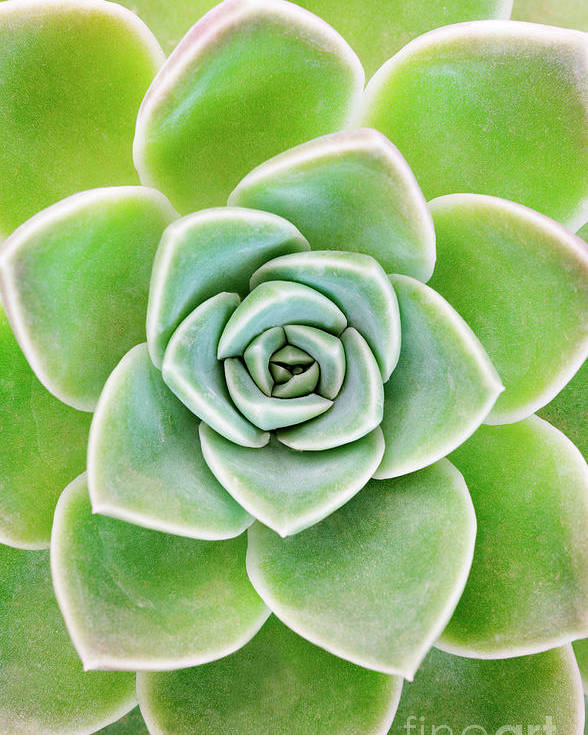 Echeveria Elegans Poster featuring the photograph Mexican Snowball Succulent by Neil Overy
