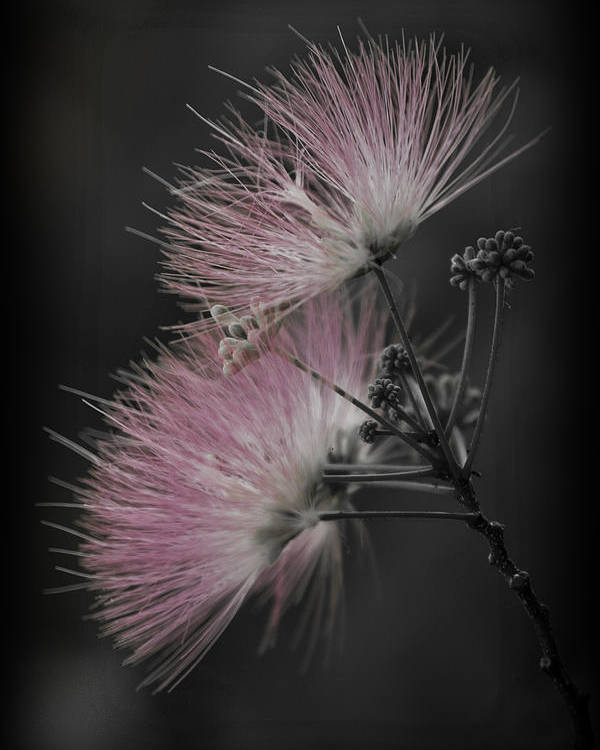 Albizia Julibrissin Poster featuring the photograph Mimosa by Patricia Montgomery
