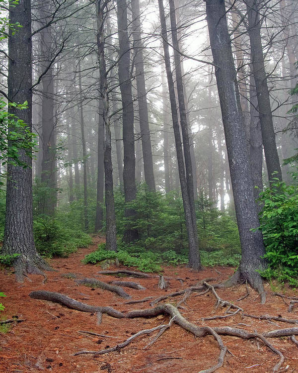 Ontario Poster featuring the photograph Misty Morning In An Algonquin Forest by Peter Pauer