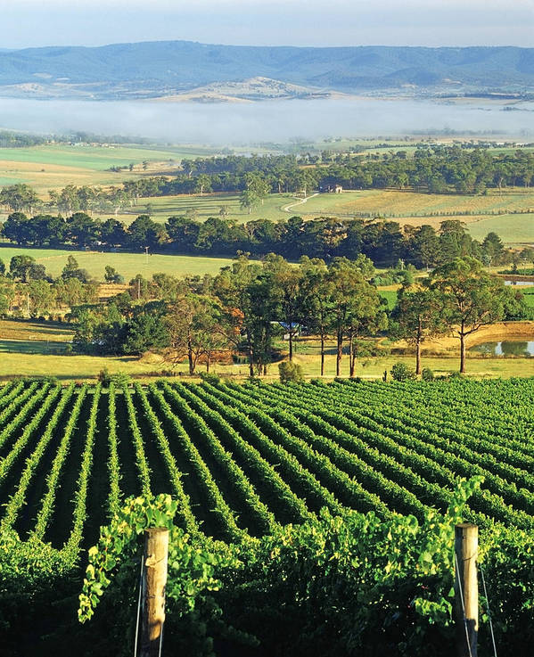 Vertical Poster featuring the photograph Misty Morning In Yarra Valley Vineyards Near Healesville, Victoria, Australia by Peter Walton Photography