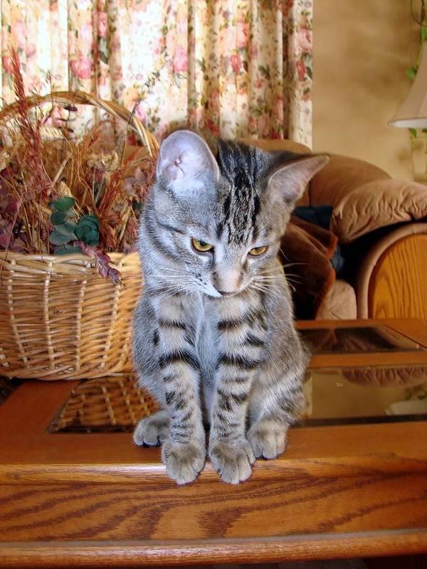 Pet Kitten Cat Poster featuring the photograph Molly by Art Tilley