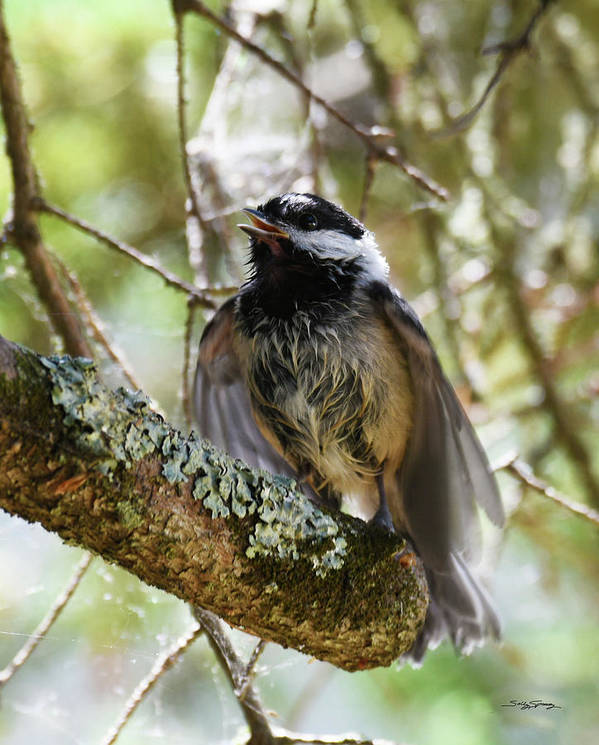 Black Capped Chicadee Poster featuring the photograph Mom, I'm Hungry by Sally Sperry