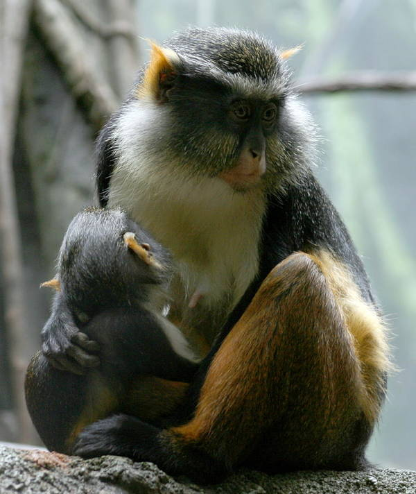Monkey Poster featuring the photograph Momma by Jason Hochman