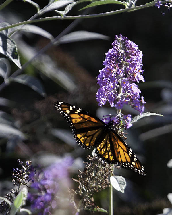 Butterfly Bush Poster featuring the photograph Monarch In Backlighting by Rob Travis