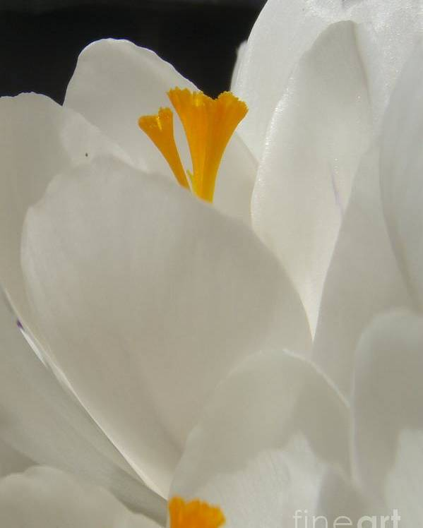 White Yellow Crocus Spring Flowers Petals Poster featuring the photograph Morning Light by Kristine Nora