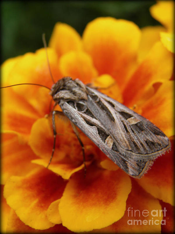 Moth Poster featuring the photograph Moth And Marigold by Emily Kelley