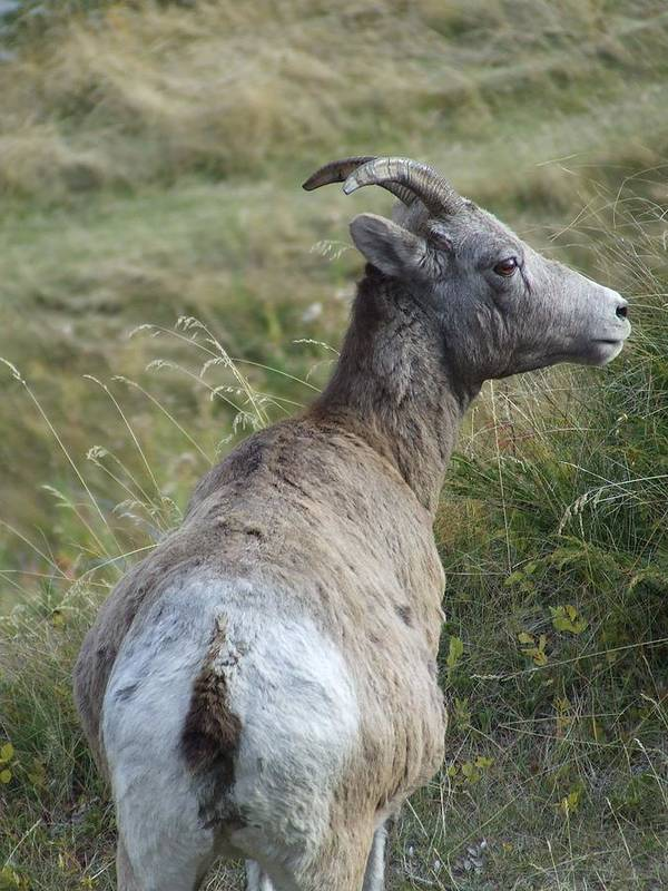Bighorn Sheep Poster featuring the photograph Mother Bighorn by Tiffany Vest