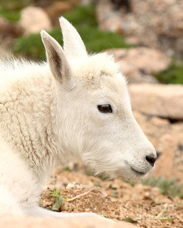 Mountain Goat Poster featuring the photograph Mountain Goat Kid With Peaceful Gaze by Max Allen