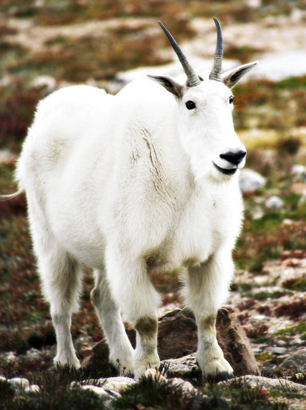 Animal Poster featuring the photograph Mountain Goat by Marilyn Hunt