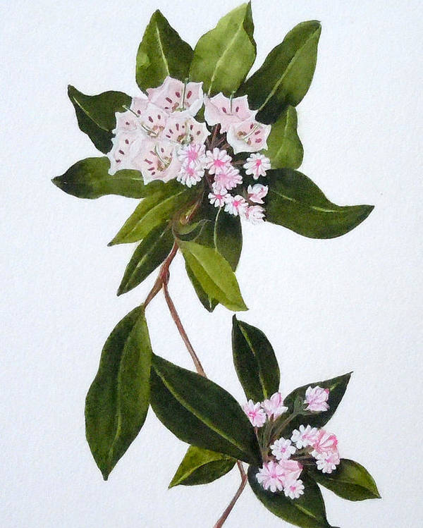 Mountain Laurel Poster featuring the painting Mountain Laurel by Jean Blackmer