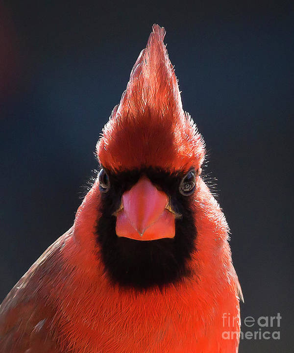#cardinal #redbird #red #bird #malecardinal #portrait Poster featuring the digital art Mr. Cardinal by Kelly Cave