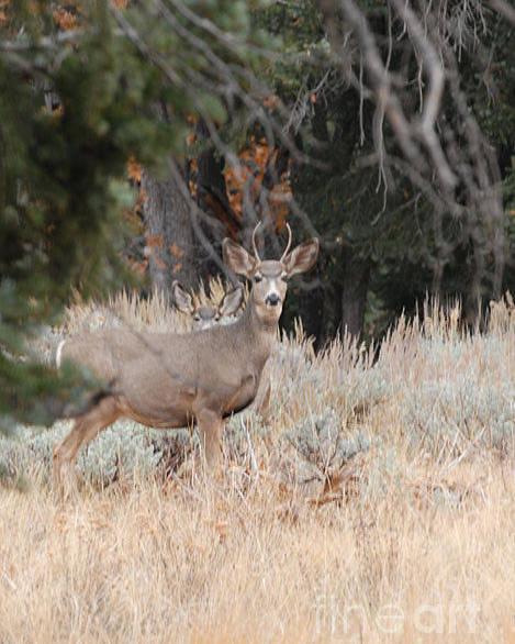 Deer Poster featuring the photograph Mule Deer Buck by Dennis Hammer