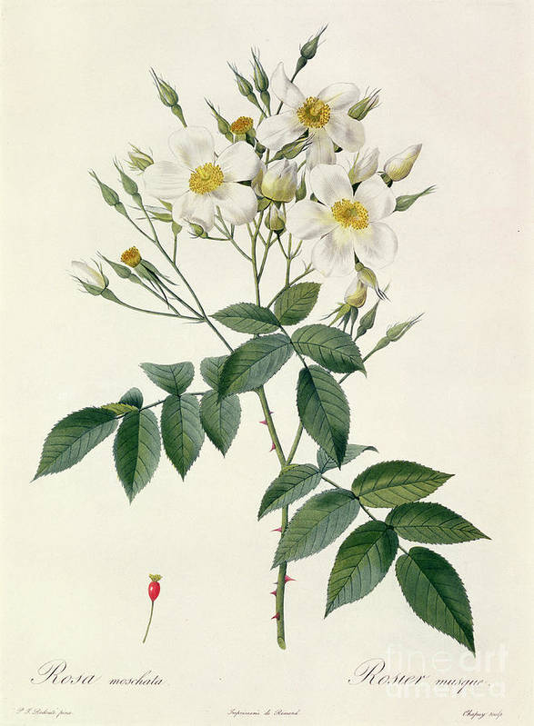 Rosa Poster featuring the drawing Musk Rose by Pierre Joseph Redoute