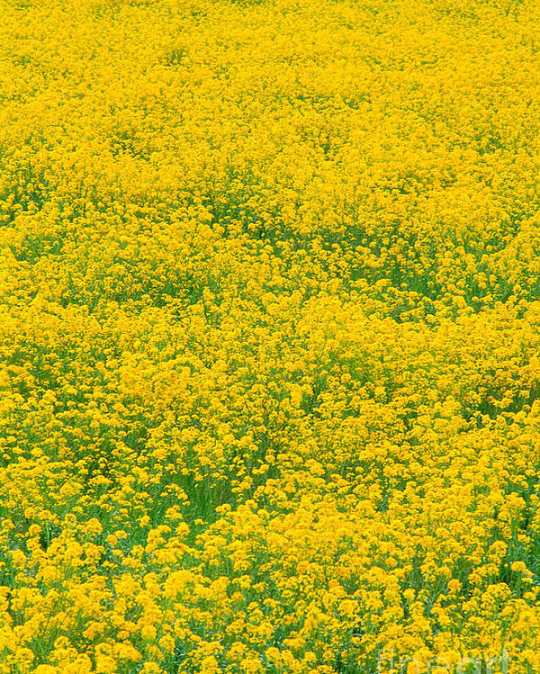 Bloom Poster featuring the photograph Mustard Flowers by Greg Vaughn - Printscapes