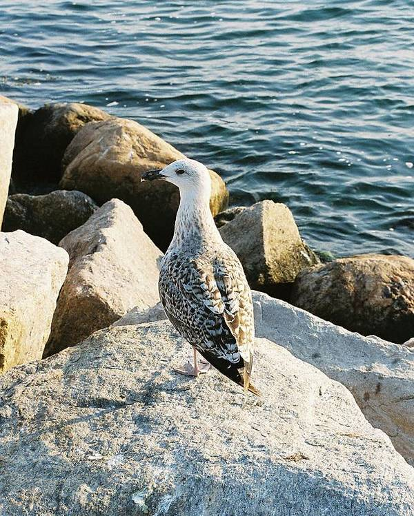 Seagull Poster featuring the photograph Narragansett Gull by Cheryl Martin