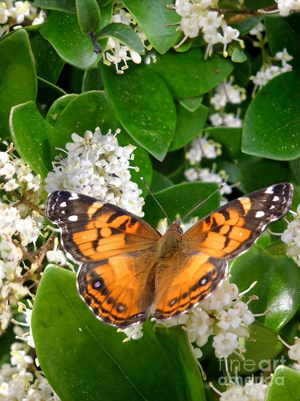 Nature Poster featuring the photograph Nature In The Wild - On Golden Wings by Lucyna A M Green