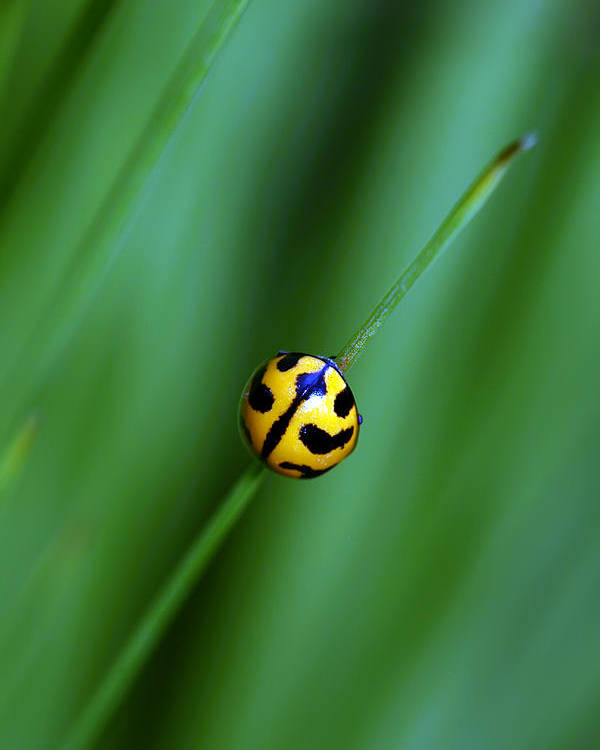 Lady Beetle Poster featuring the photograph Nature's Tightrope by Lesley Smitheringale