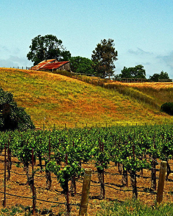 Vines Poster featuring the photograph New Vineyard by Gary Brandes