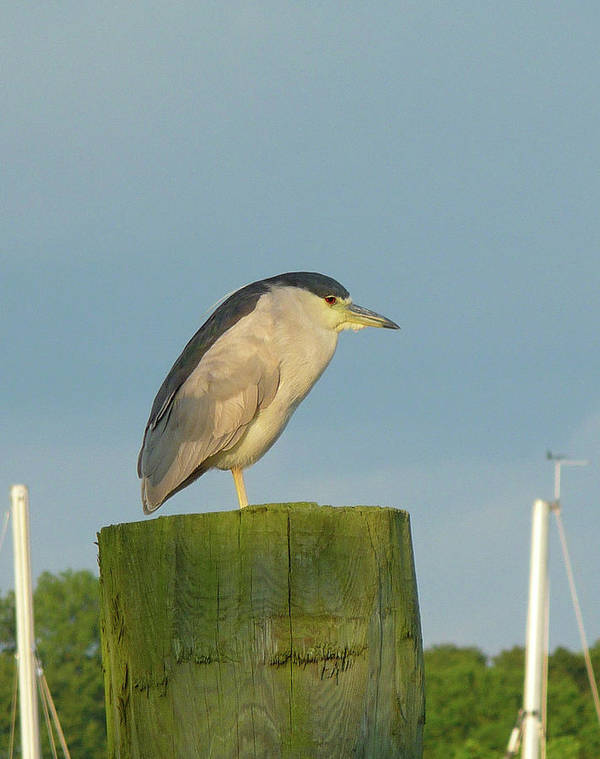 Heron Poster featuring the photograph Night Heron At The Dock by Margie Avellino