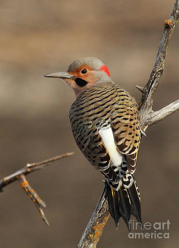 Northern Yellow Shafted Flicker Poster featuring the photograph Northern Flicker On Branch by Gail Huddle