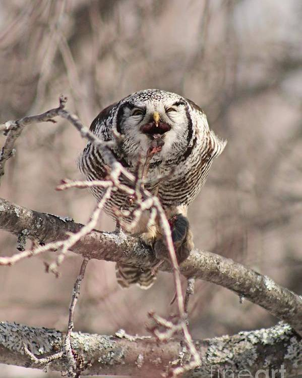Northern Hawk Owl Poster featuring the photograph Northern Hawk Owl Having Lunch 9439 by Joseph Marquis