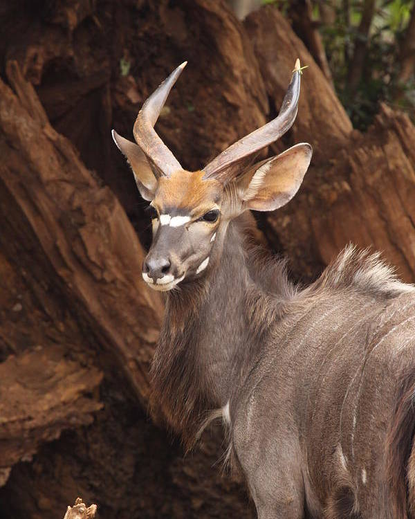 Nyala Poster featuring the photograph Nyala by Shelly OBrien
