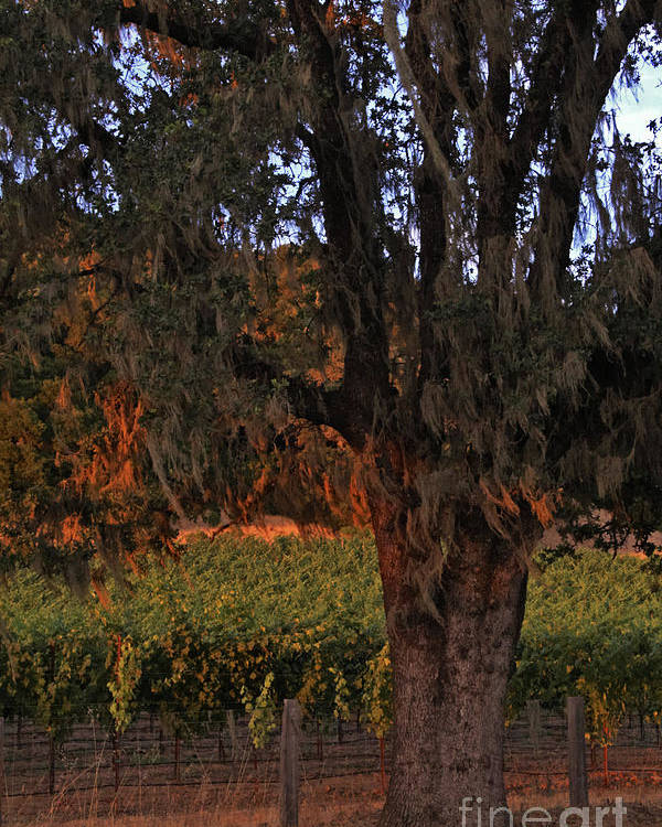 Calistoga Poster featuring the photograph Oak Tree And Vineyards In Knight's Valley by Charlene Mitchell