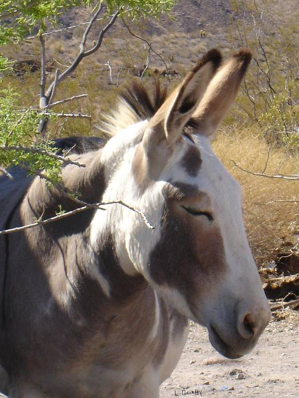 Photography Poster featuring the photograph Oatman Burro by Lessandra Grimley