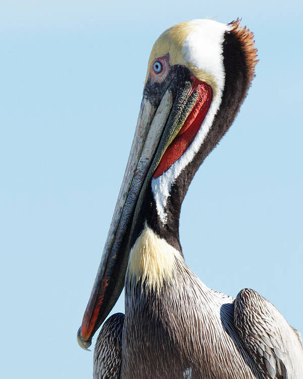 Ol' Blue Eyes Is Back Poster featuring the photograph Ol' Blue Eyes Is Back -- Brown Pelican In Port San Luis, California by Darin Volpe