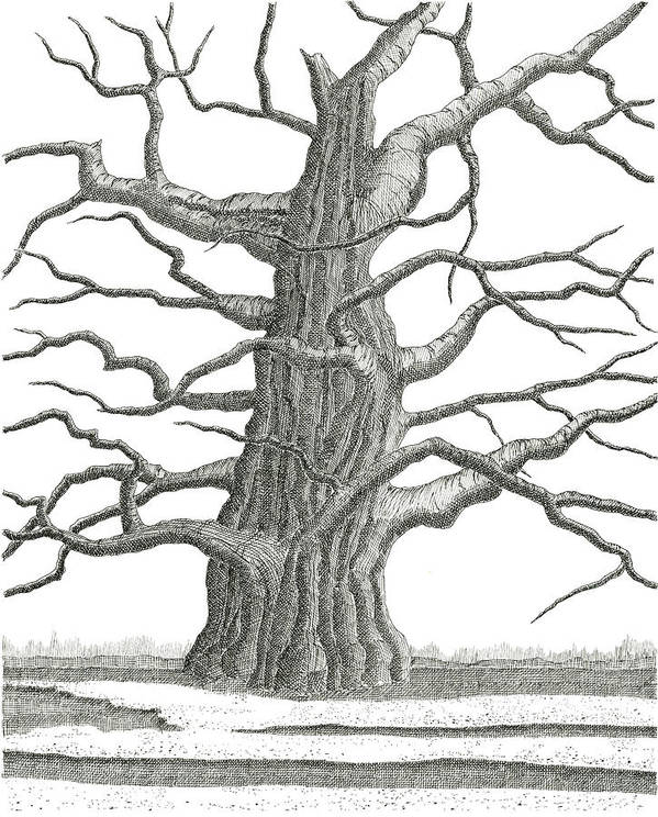 Old Poster featuring the drawing Old Oak 2 by Jeno Futo