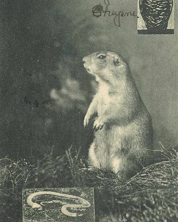 Owl Snake Prairie Dog Antique Poster featuring the mixed media Old Post Card by Artist from the past