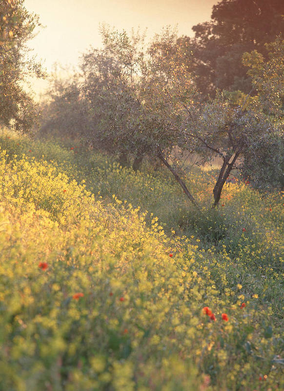 Tuscany Poster featuring the photograph Olive Grovetuscany by Michael Hudson