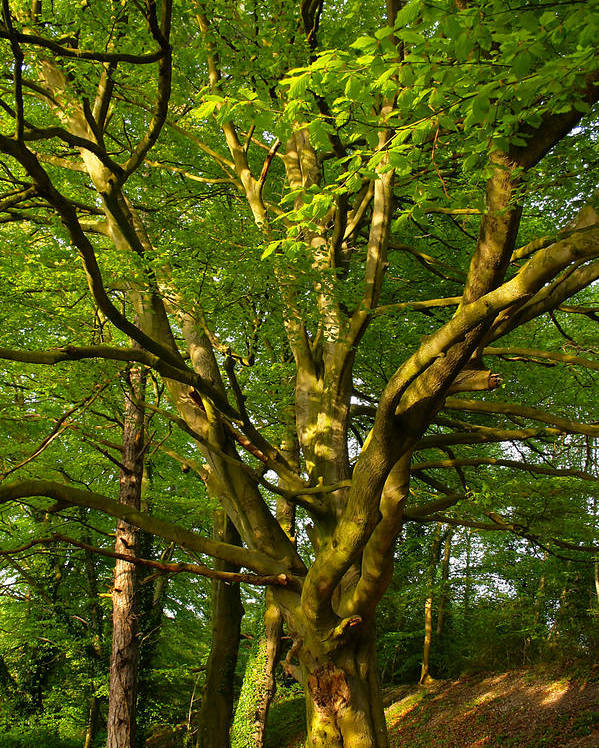 Tree Poster featuring the photograph On The Way To St. Catherine's Hill by Joshua Ackerman